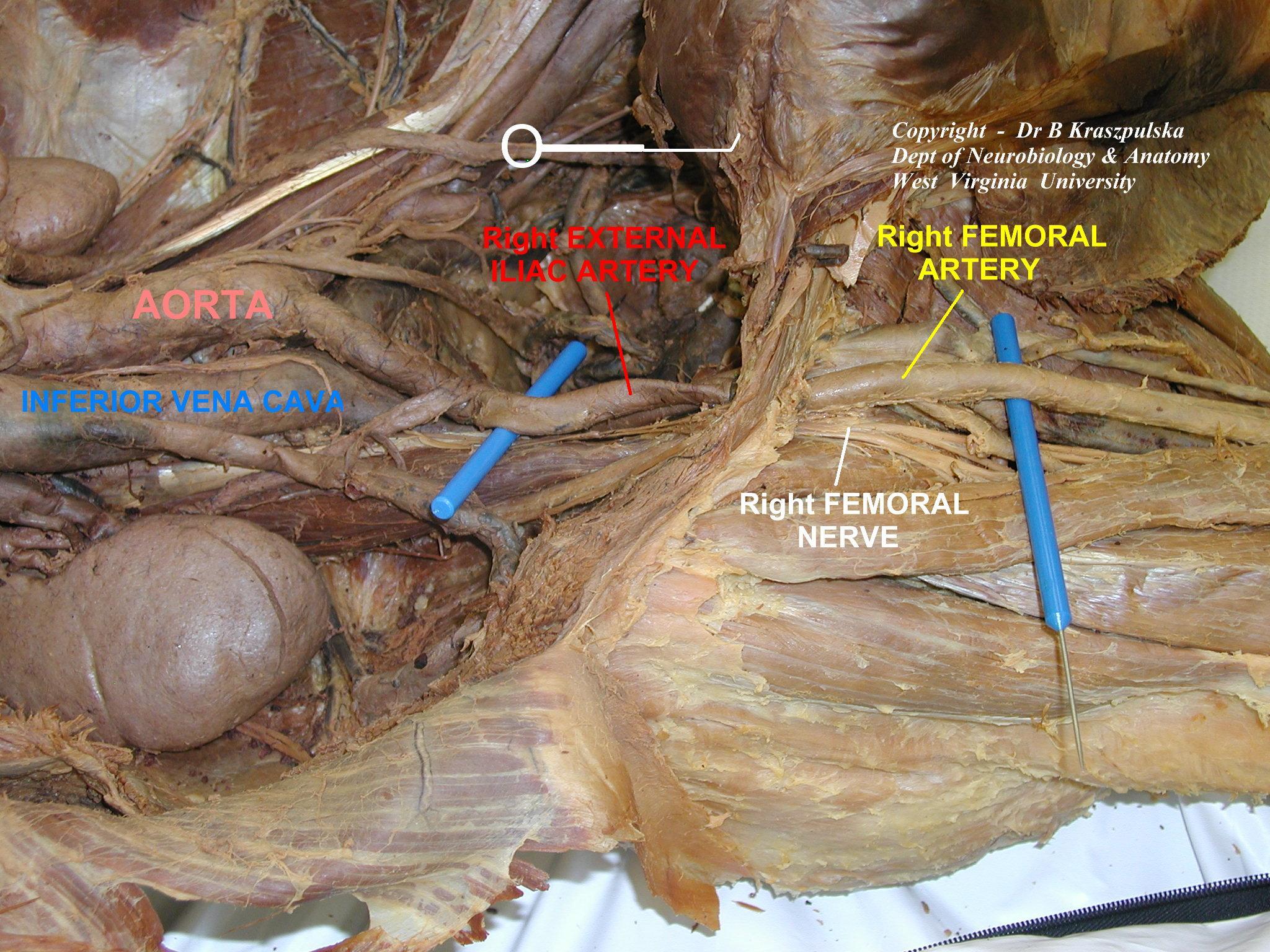 Femoral Nerve Cadaver – applecool.info